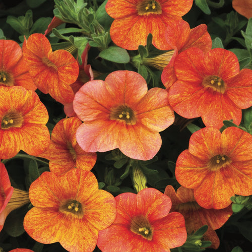Calibrachoa Superbells Dreamsicle
