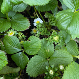 Fragaria 'Seascape' Strawberry