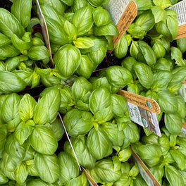Basil Sweet Bush