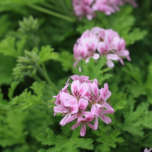 Pelargonium g. Attar of Roses
