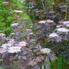 Sambucus 'Thundercloud' Black Elderberry