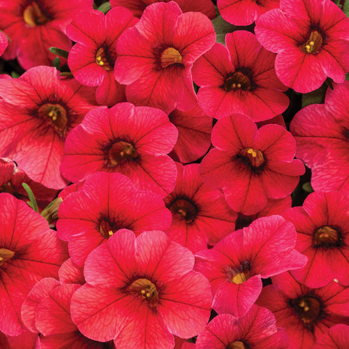 Calibrachoa Million Bells Red