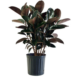 Ficus Robusta-Rubber Plant