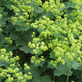Alchemilla Mollis 'The Thriller'