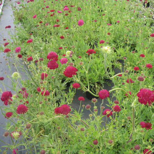 Knautia 'Red Knight'