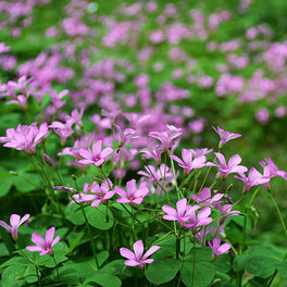 Oxalis crassipes 'Blush'