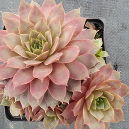Sempervivum 'Lilac Time' (Hens and Chicks)