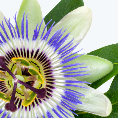 Fresh Passionflower