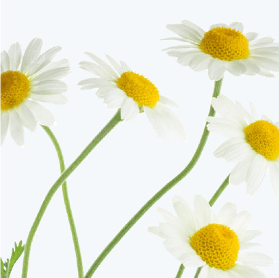 ing-chamomile-flowers
