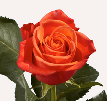 Load image into Gallery viewer, Roses 24-25 Stems (1 Bunch)