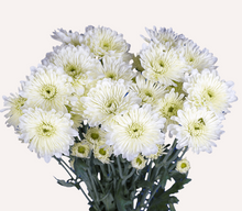 Load image into Gallery viewer, Chrysanthemum PomPoms 10 Stems (1 Bunch)