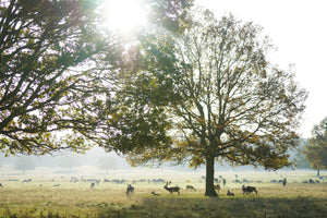 Sunrise in Richmond Park