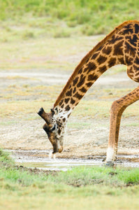 A giraffe taking a drink