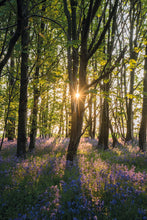 Load image into Gallery viewer, Bluebells at sunrise