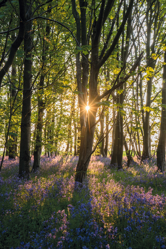 Bluebells at sunrise