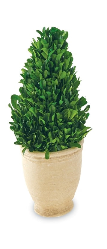 Large Boxwood, Cone