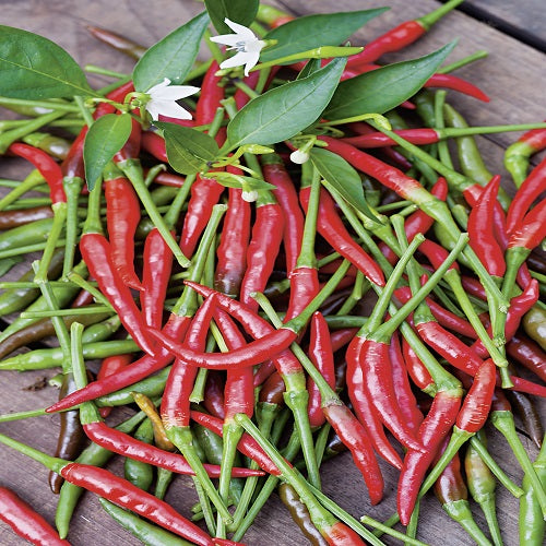 Chili 'Cayenne Long Slim' - Økologisk