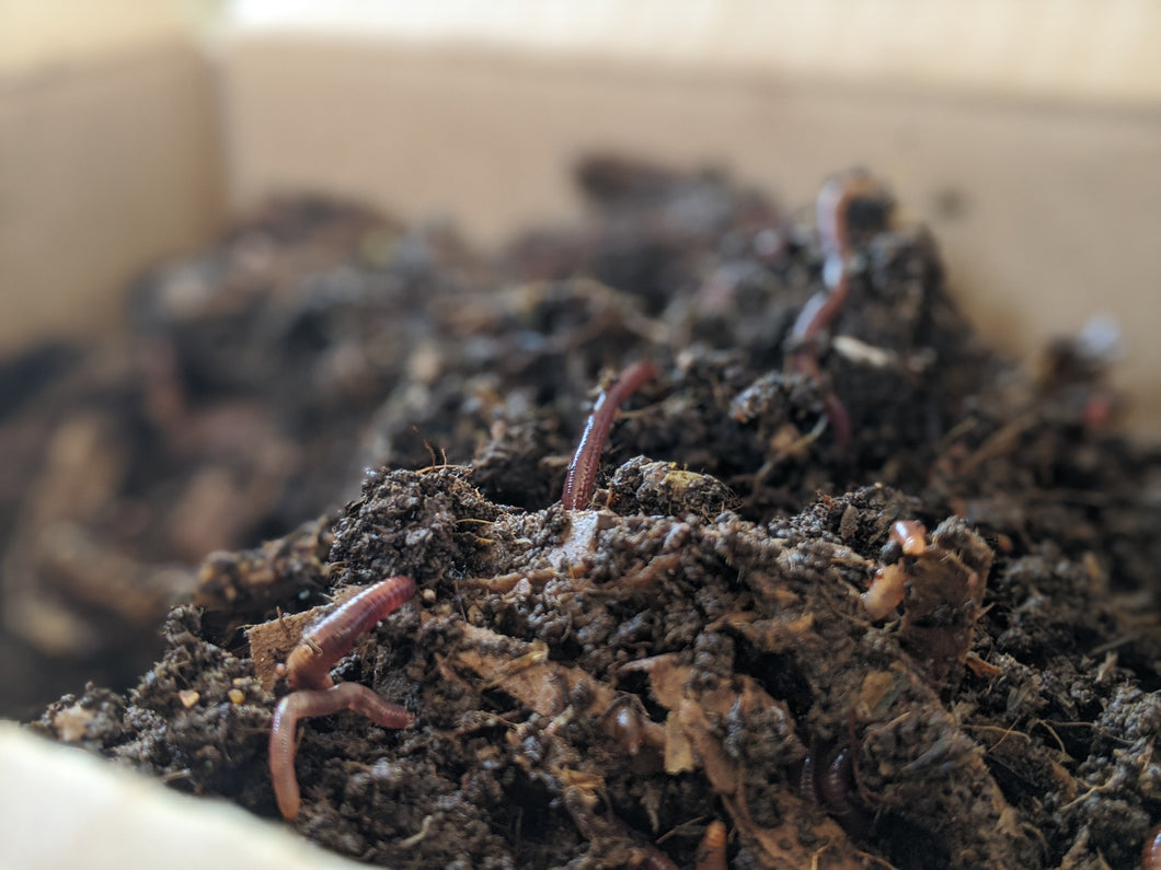 Red wiggler earthworms (Ottawa only)