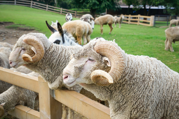 Australian Merino Wool, The benifits