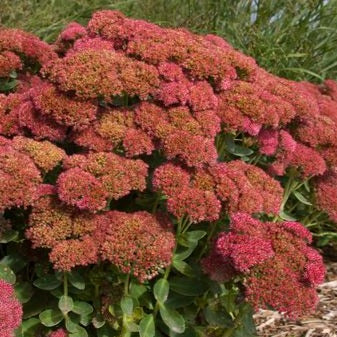 Sedum spectabile 'Autumn Fire'