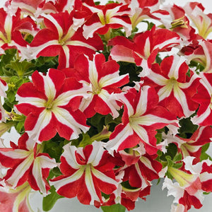 Petunia Success 360 Red Star