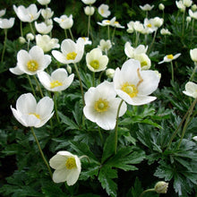 Load image into Gallery viewer, Anemone sylvestris (Snowdrop anemone)