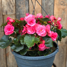 Load image into Gallery viewer, Begonia Baskets