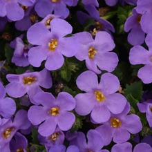 Load image into Gallery viewer, Bacopa MegaCopa Blue