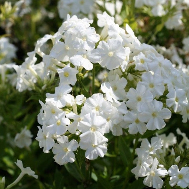 Phlox paniculata 'Early White'