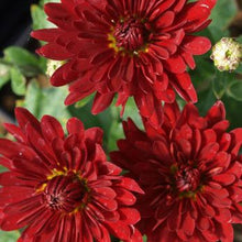 Load image into Gallery viewer, Chrysanthemum 'Morden Garnet'