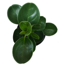 Load image into Gallery viewer, Peperomia Obtusfolia