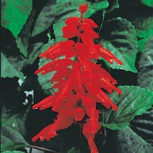 Load image into Gallery viewer, Salvia - Red Hot Sally II