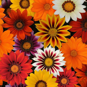 Gazania - New Day Mix