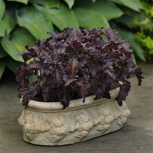 Basil - Purple Ruffle