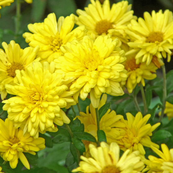 Chrysanthemum 'Morden Canary'