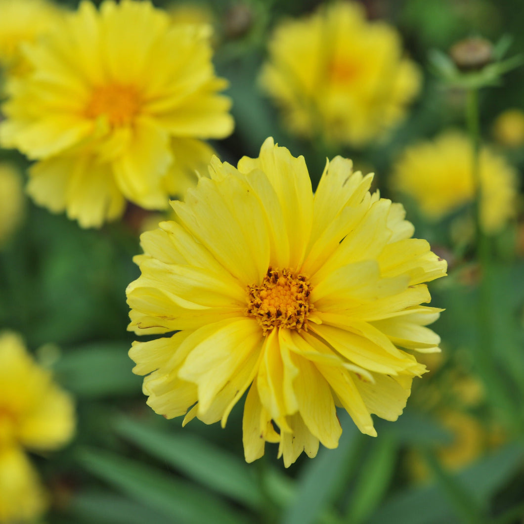 Coreopsis grandiflora 'Leading Lady Charlize'
