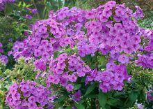 Load image into Gallery viewer, Phlox paniculata 'Flame Purple'