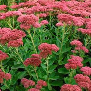 Sedum spectabilis 'Autumn Joy'