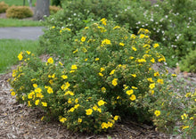 Load image into Gallery viewer, Potentilla Goldfinger