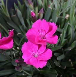 Dianthus x 'Beauties Kate'