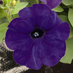 Petunia Success 360 Blue