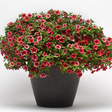 Load image into Gallery viewer, Calibrachoa Crave Strawberry Star