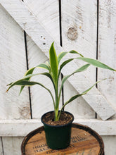 Load image into Gallery viewer, Dracaena Sanderiana White
