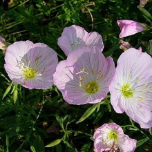 Load image into Gallery viewer, Oenothera speciosa 'Twilight'