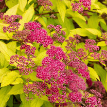 Load image into Gallery viewer, Spirea Goldflame