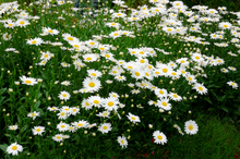 Load image into Gallery viewer, Leucanthemum s. 'Sweet Daisy Birdy'