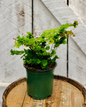 Load image into Gallery viewer, Maidenhair Fern 'Rosy'