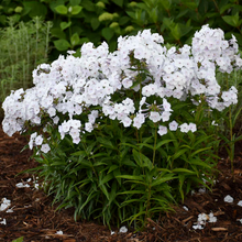 Load image into Gallery viewer, Phlox paniculata 'Early White'