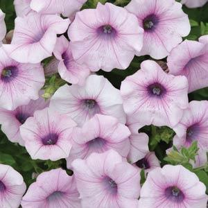 Petunia Shock Wave® Pink Vein