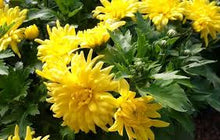 Load image into Gallery viewer, Chrysanthemum 'Morden Canary'